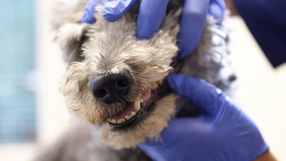 En bild på en veterinär som undersöker en hunds tänder