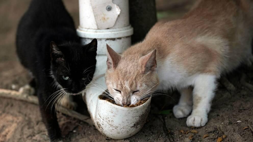Två katter äter mat ur ett stuprör.