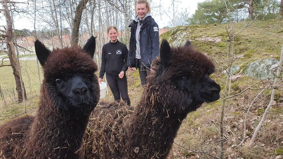 Hilma Melin och Julia Edvardsson och två av Söderköpings nya alpackor