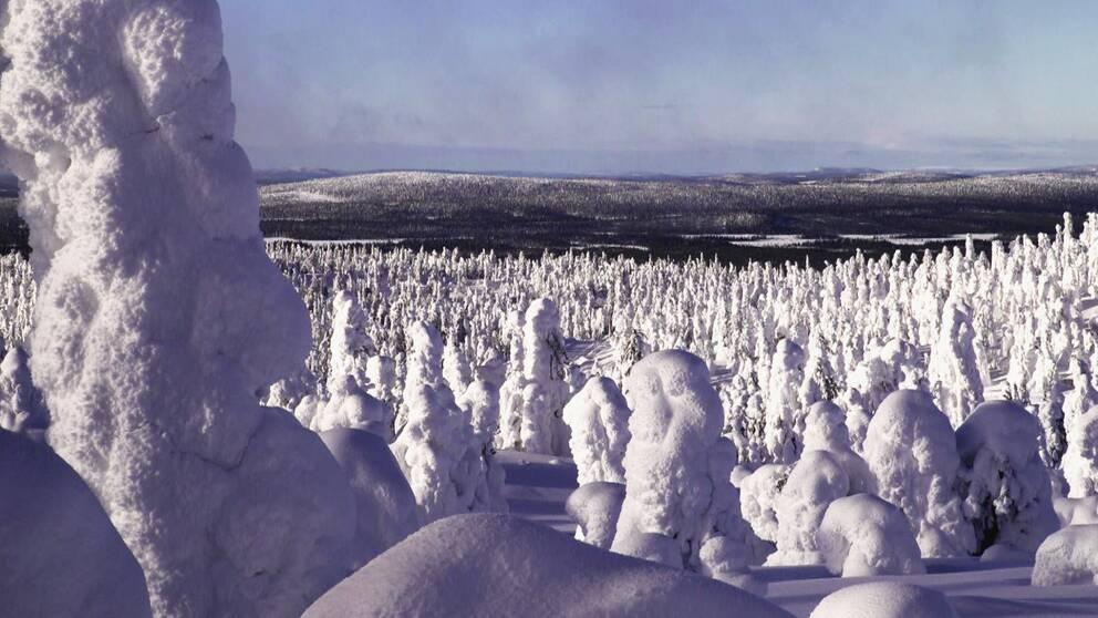 vy över fjällområde med granskog, träden helt inbakade i snö