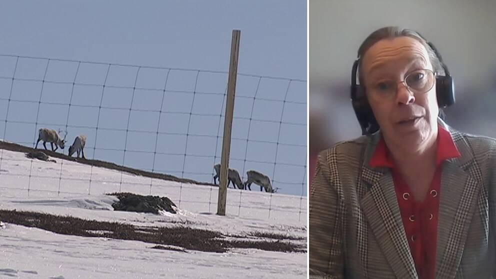 fyra renar betar på delvis snötäckt fjällmark, bakom ett staket, samt bild från videochatt med Jenny Wik Karlsson – en kvinna med glasögon och hörlurar, i kavaj