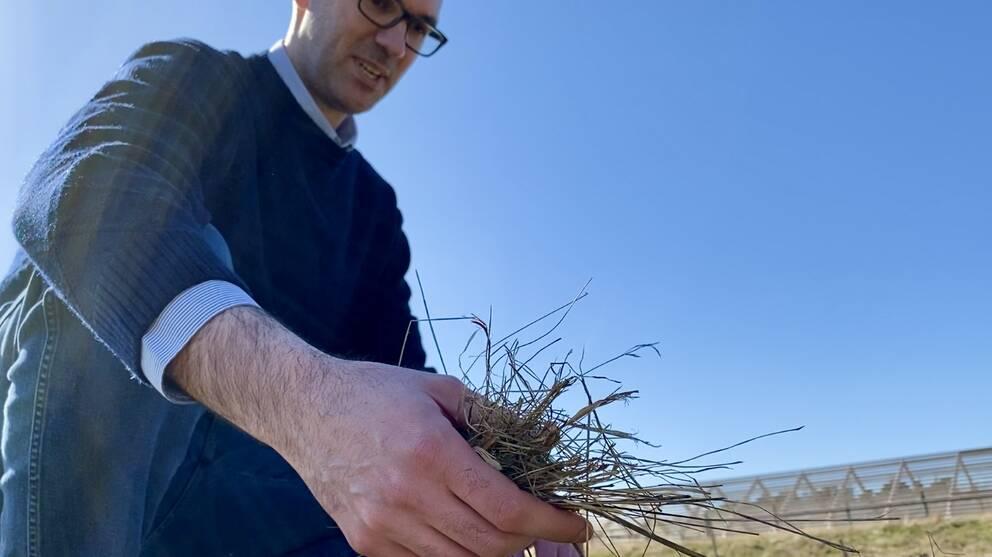 Pietro Campana undersöker gräset på platsen där vall nu ska kombineras med solceller. Det för att utvinna energi samtidigt som markfukten kan bevaras.