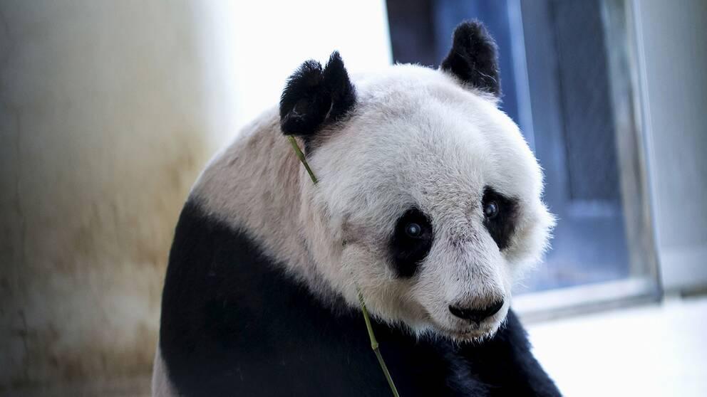 Jia Jia blev 38 år gammal.