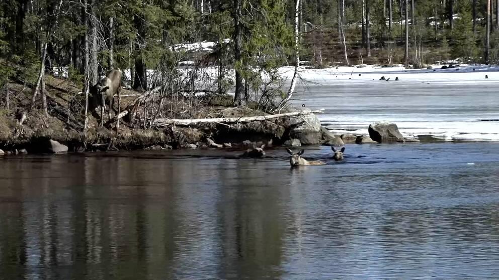 Årets första älgar simmar över Ångermanälven.