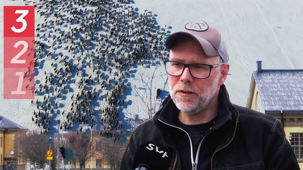 montage av drönarbild på en renflock på snö, en man i keps som intervjuas, och bebyggelse