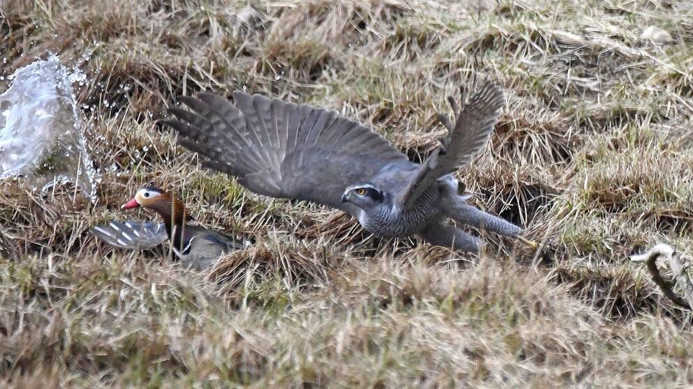 Två fåglar. En duvhök som attackerar en mandarinand.