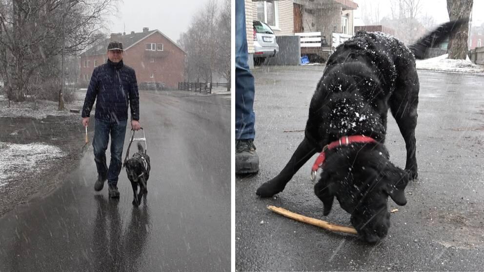 På bilden syns Torbjörn Ruther gåendes med sin ledarhund Joy. Bilden är tudelad och på den andra bilden har arbetsselen tagits av och Joy leker med en pinne.