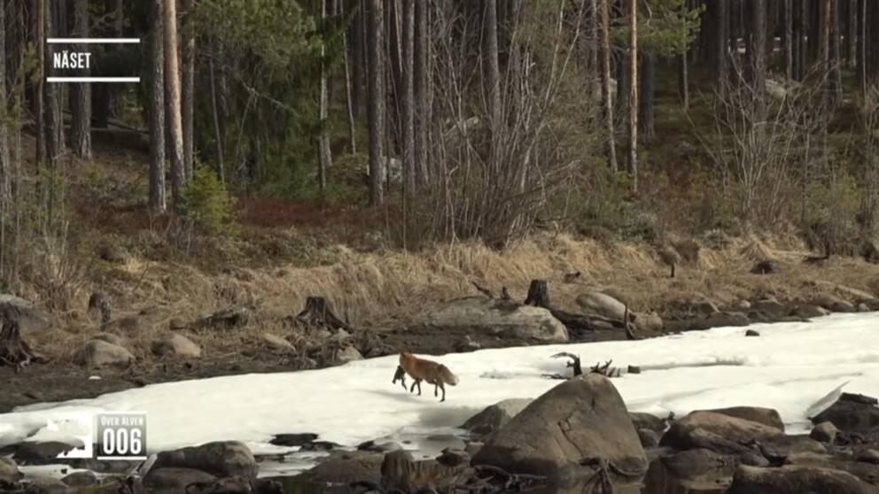 Räv springer iväg med en fisk vid Ångermanälven.