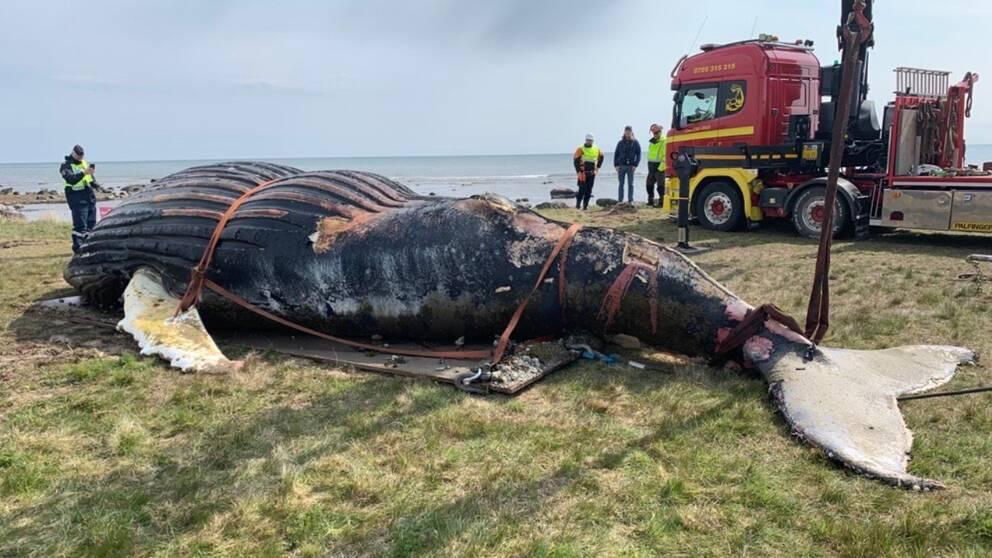 Under måndagsförmiddagen bärgades den döda knölvalen på östra Öland. Enligt experter på plats gick hela flytten enligt plan.