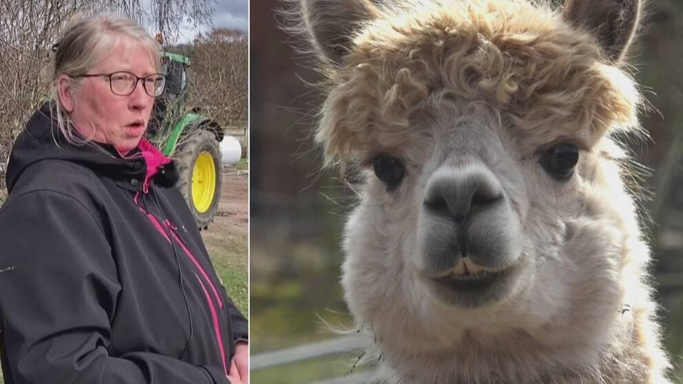 Linda Stark i Vånga älskar sina alpackor. – När man har haft det stressigt på jobbet så finner man lugnet rätt så kvickt när man är ute med alpackor, säger Linda.