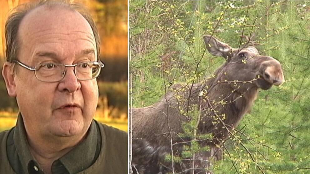Delad bild. Till vänster en tunnhårig man med glasögon. Till höger en älg som betar i lövskog.