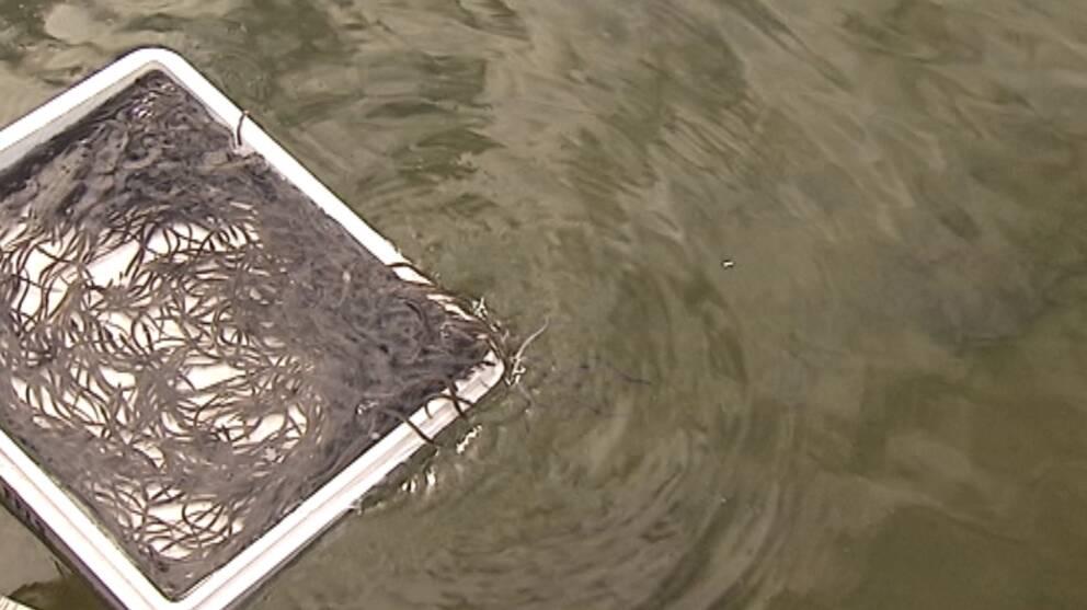 Idag släpptes 170000 ålyngel ut.