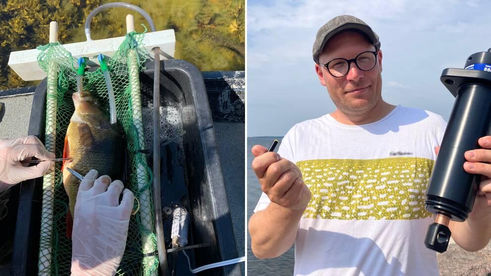 Bilden är delad i två. Den vänstra bilden visar hur två plasthandskeklädda händer opererar en aborre. Den högra bilden är en bild på docent Petter Tibblin som håller i en sändare och en mottagare för akustisk telemetri.