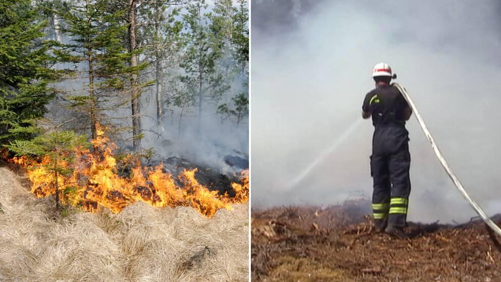 En eldhärjad granskog och en brandman