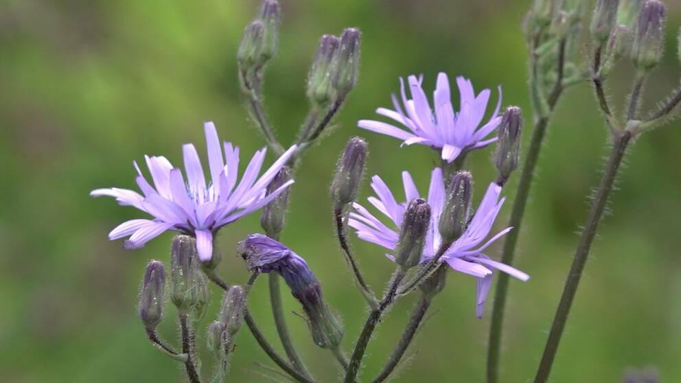 närbild på ljuslila blommor och knoppar