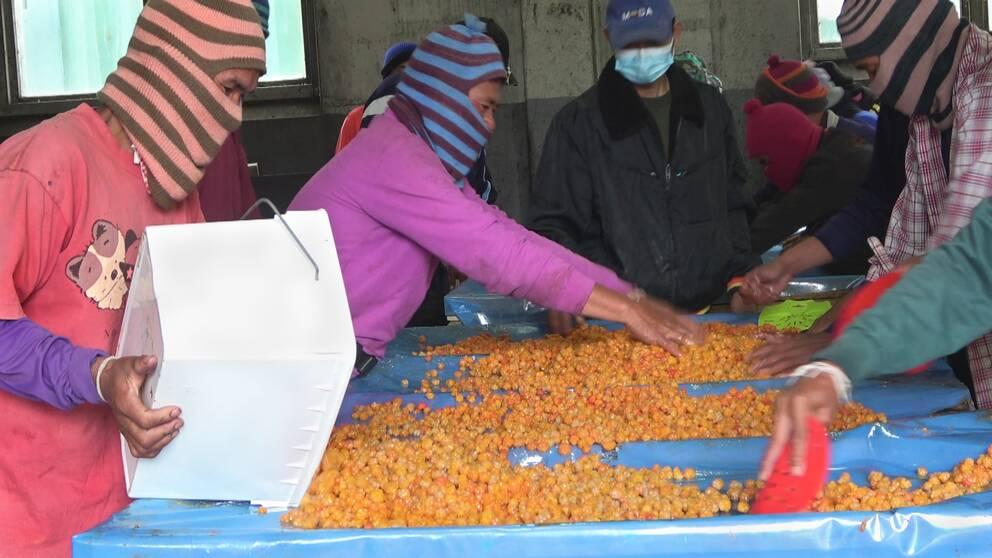 thailändska bärplockare i randiga färgglada stickade huvor sorterar hjortron på ett bord