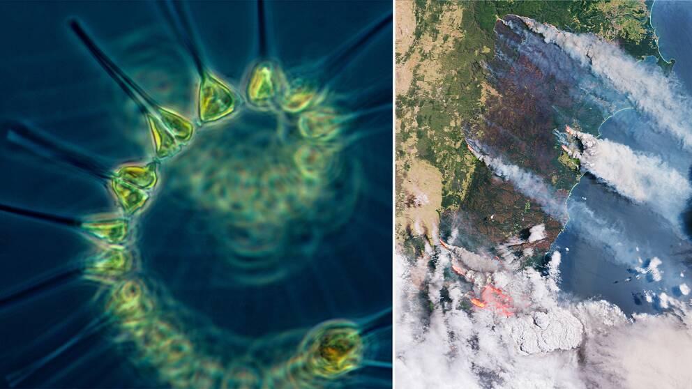 Närbild på växtplankton och satellitbild på rök från bränderna i Australien.