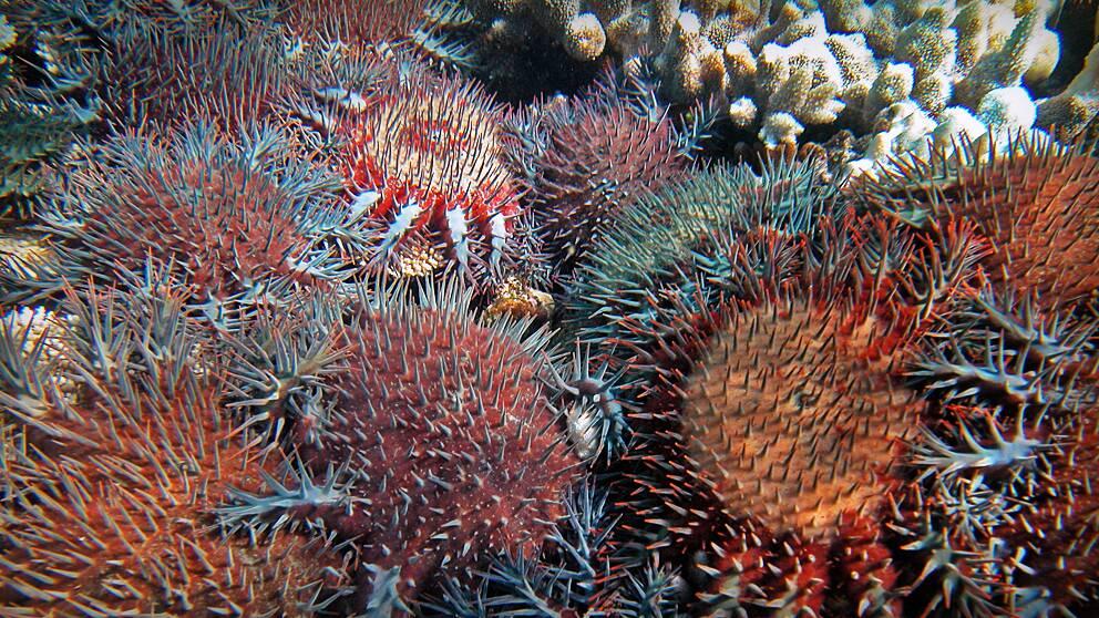 De här sjöstjärnorna, som kallas för Törnekronor, är en av huvudorsakerna till Stora barriärrevets tragiska öde. Törnekronorna kryper upp och vränger ut hela sin mage över korallerna, för att på så sätt kunna få i sig de svårsmälta korallerna.