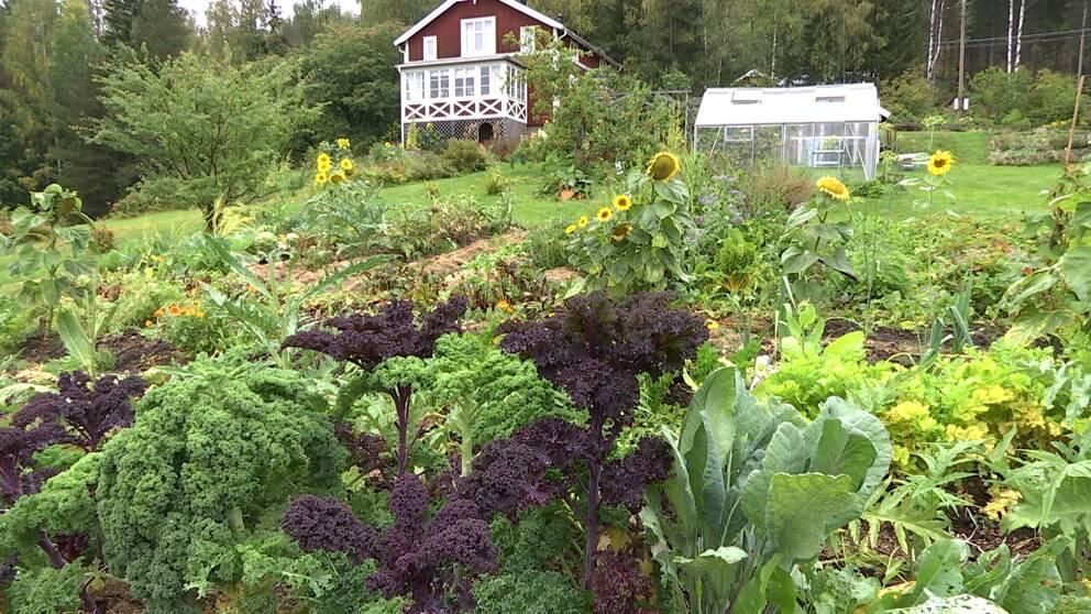 grönsaksland i förgrunden och äldre rödmålat hus med glasveranda i bakgrunden.