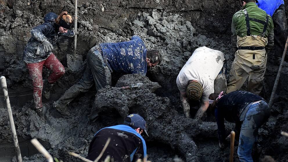 Forskare gräver fram den mammutskalle som hittades i en åker i Michigan.