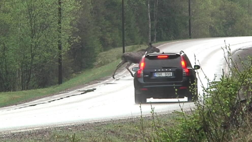 svart volvo är nära att krocka med älg på landsväg