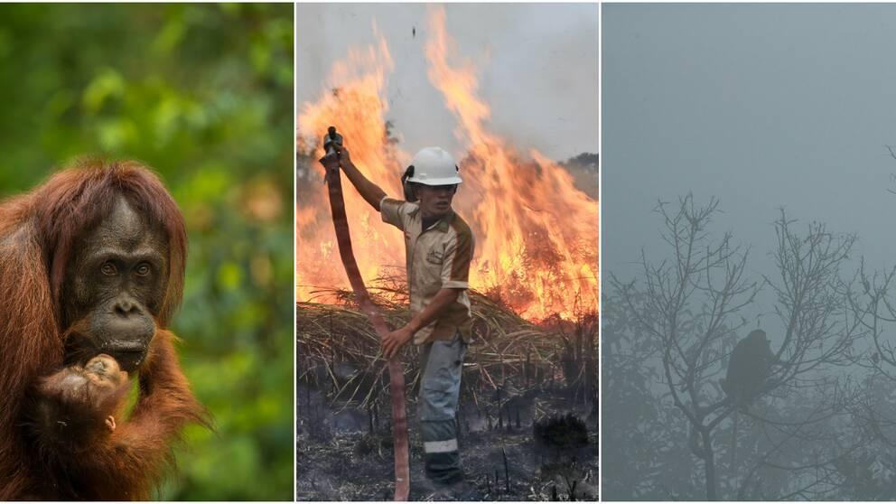 Palmoljan används flitigt som ingrediens i många av våra produkter, men det kommer på bekostnad av regnskogen, djurlivet och människorna som bor där.