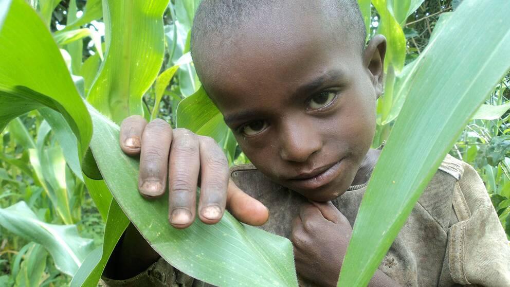 En etiopisk pojke i familjens majsfält. Rädda Barnen fruktar en svältkatastrof i Etiopien.