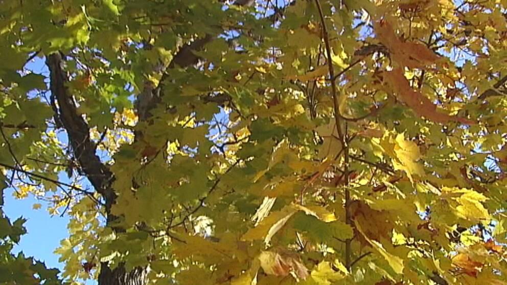 Oktober är bland annat de färgsprakande lövens underbara tid.