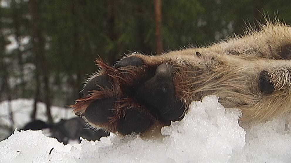närbild vargtass som ligger i snön