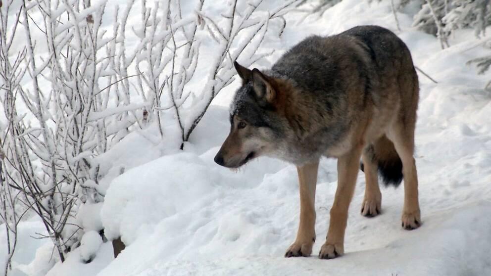 Så bör du bete dig om du möter en varg.