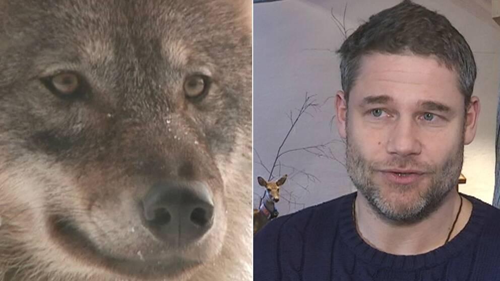 Vargforskaren Jens Franks tips om du möter en varg i skogen.