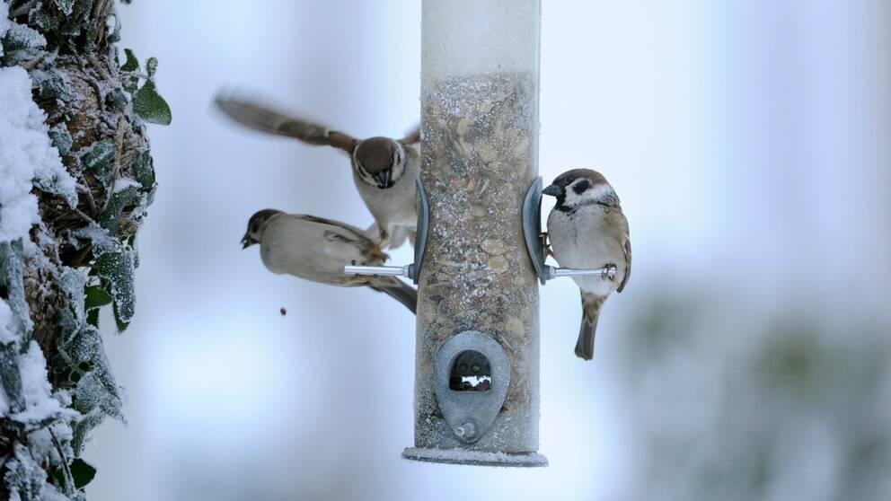 Småfåglar vid fågelmatsautomat