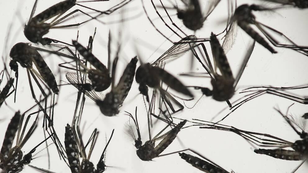 Det första fallet där en person smittats av zikaviruset i USA har rapporterats.
