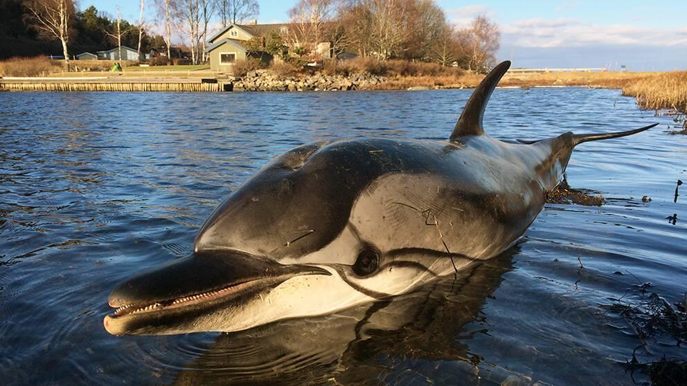 delfin, strimmig delfin, Onsala