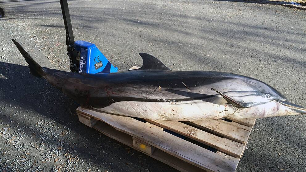 strimmig delfin, delfin, onsala