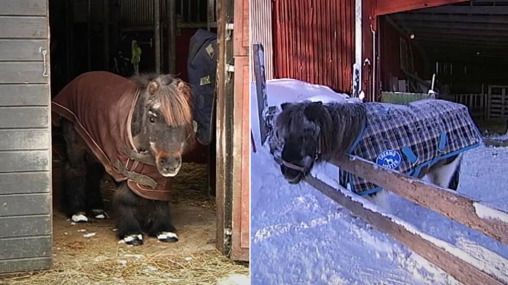 Hamo, 42, och Poppy, 40, är troligtvis Sveriges äldsta shetlandsponnys. Nu har de funnit kärleken.