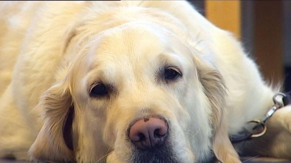 Golden Retriever, överviktiga husdjur, fet hund, feta husdjur