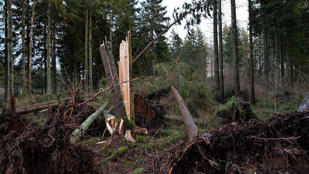 Förstörd skog efter storm.