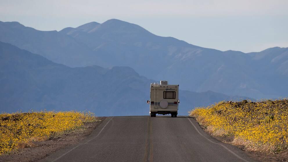 """En av världens torraste platser, Death Valley, har nu slagit ut i en ovanlig """"superblomning""""."""