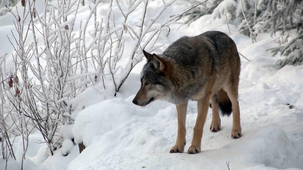 En varg i snön.
