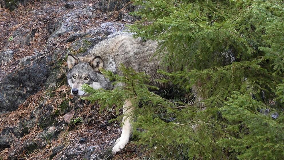 En varg på Skansen, arkivbild.