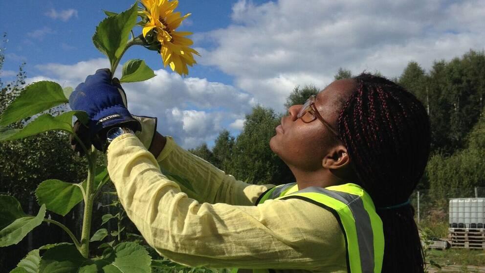 Ett experiment i Moskogen utanför Kalmar där man gjort försök att använda växter för att ta upp gifter från petroleum i marken.