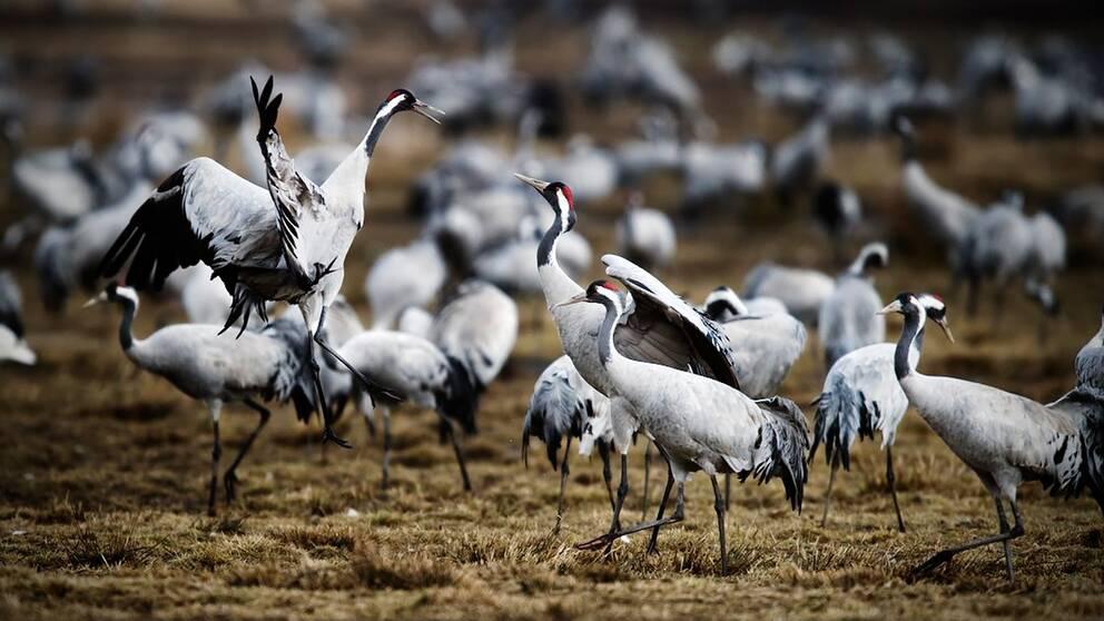 Fågelansamlingen brukar vara som störst några dagar in i april, men i år har tranorna kommit tidigare än vanligt.