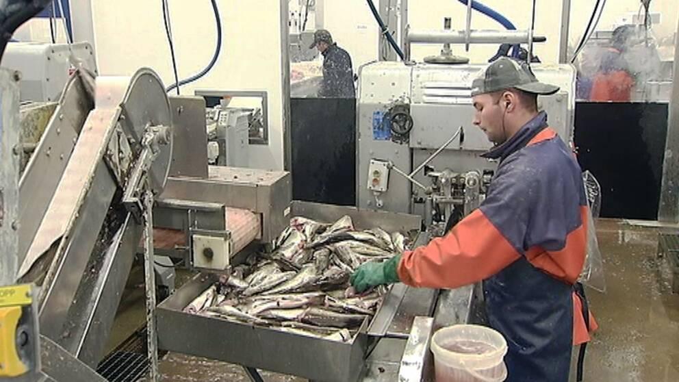Ny strategi ska få fart på det småskaliga fisket vid Östersjön.