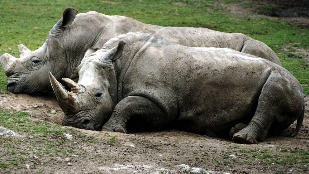 Tjuvjakten på noshörningar och elefanter ligger fortfarande på rekordnivåer