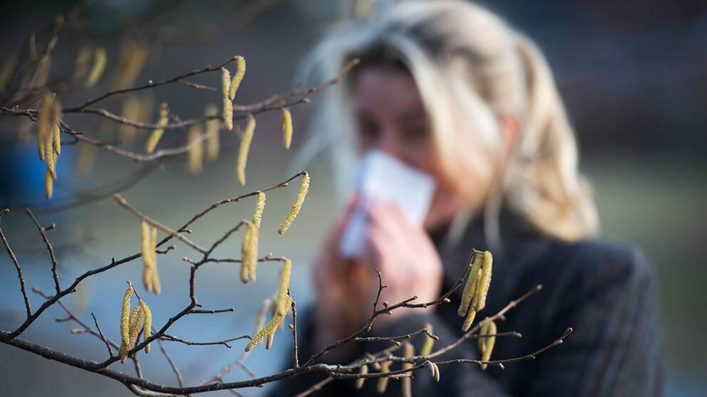 Björkpollen skapar besvär för allergiska.