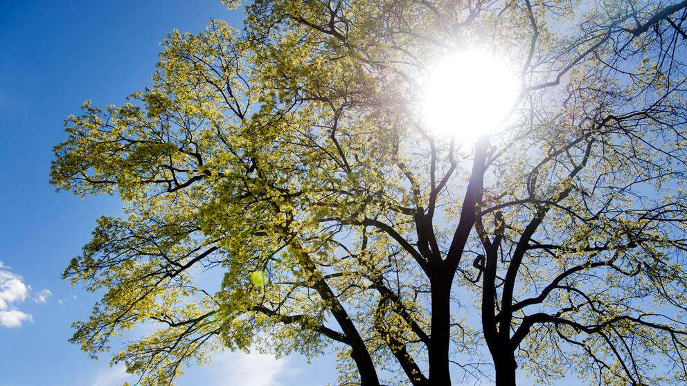 Ett träd som grönskar.