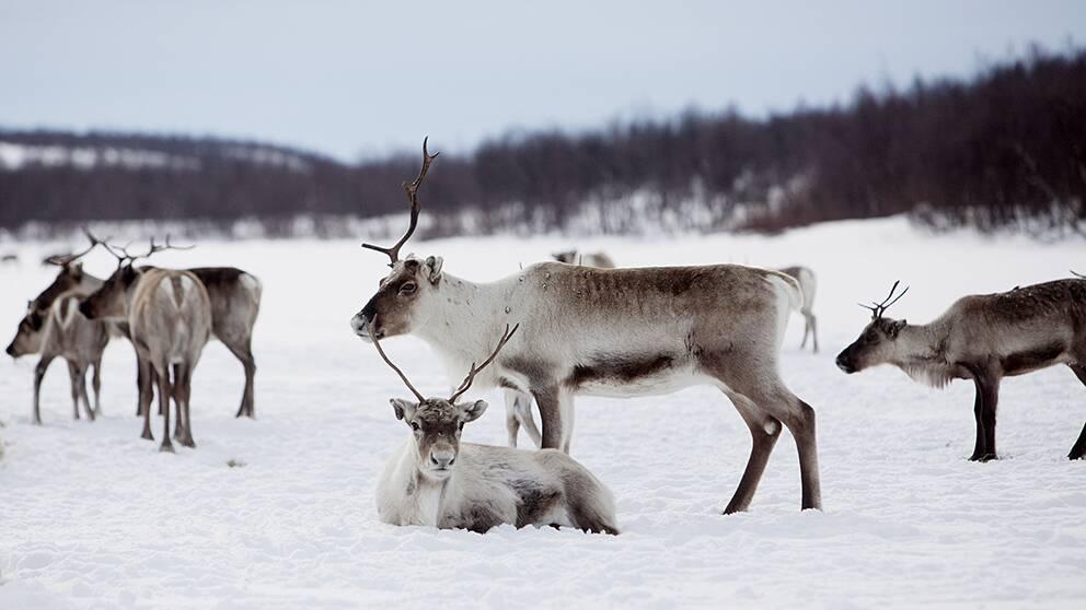 renar på vintern