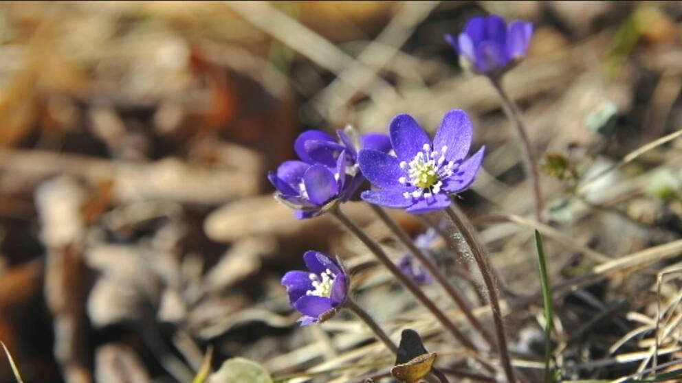 liljekonvaljer fridlysta