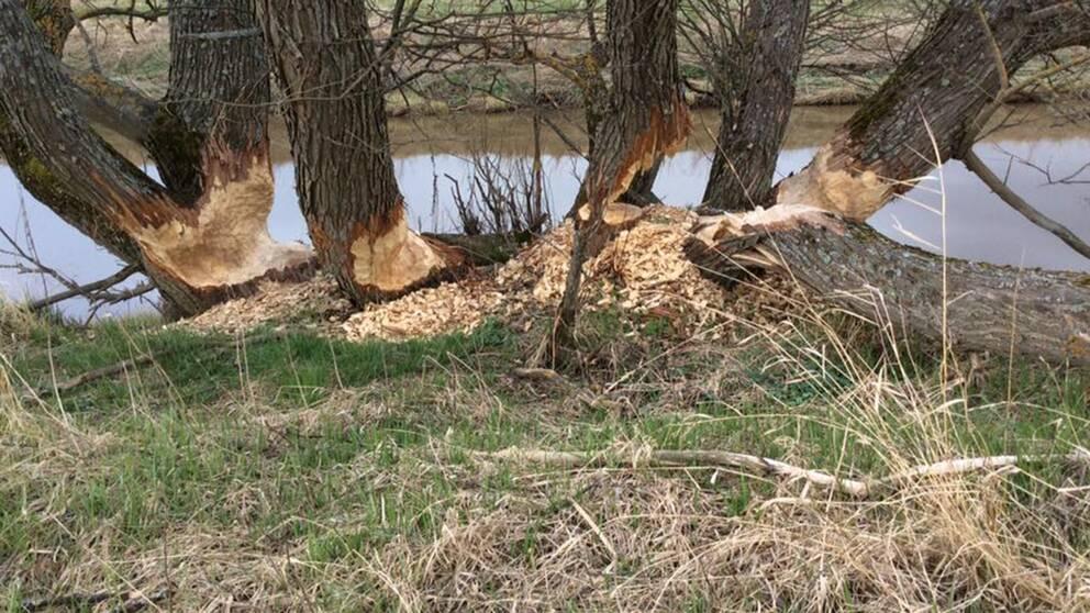 Träd som bävrar försökt fälla.